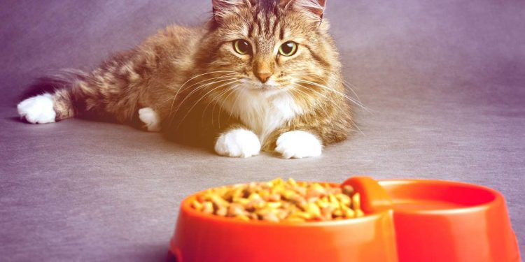 cat looking at an orange bowl full of cat foods