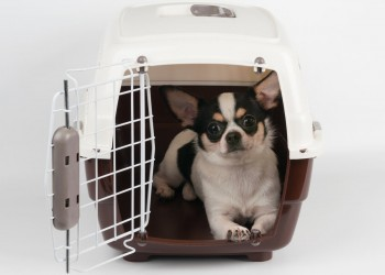 Chihuahua sitting in a Crate