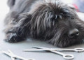 Schnauzer laying next to clippers